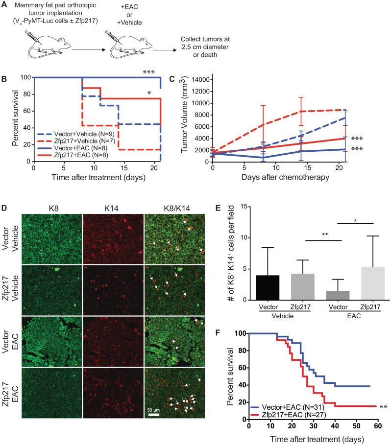 Increased expression of Zfp217 contributes to chemoresistance and an increase in a progenitor cell population (A) Experimental overview of orthotopic transplants and combination therapy in orthotopic mammary transplants of Vo-PyMT-Luc cells that constitutively overexpress vector or Zfp217. Mice received a single treatment of epothilone B, doxorubicin (Adriamycin), and cyclophosphamide combination therapy. Tumor tissue was collected at death or at the terminal endpoint when the tumor diameter reached 2.5 cm. (B) Kaplan-Meier survival curves of mice bearing orthotopic transplants of Vo-PyMT-Luc cells with constitutive overexpression of vector or Zfp217 after treatment with either EAC or vehicle. Kaplan-Meier survival curves show a significant decrease in median survival between vector and Zfp217 vehicle treated mice compared to mice that received EAC therapy (p=0.0003 and p=0.02 by log-rank test, respectively). The median survival significantly decreases after EAC therapy in mice overexpressing Zfp217 compared to vector (p=0.03 by log-rank test). (C) Tumor burden. Tumor volume was compared using linear regression analysis and the slopes of the lines were significantly different between vehicle and EAC treated vector and Zfp217 expressing tumors (p=0.0004 and p=0.0006, respectively). (D) K8 + K14 + cells. Tumor sections from FVB mice ± Zfp217 ± EAC were stained for keratin-8 (K8 + ) and keratin-14 (K14 + ) by immunofluorescence staining of tumor sections. Arrowheads point to examples of K8 + K14 + double positive cells. (E) Quantification of K8 + K14 + cells. Bar graph showing results of number of K8 + K14 + cells per field. There was a significant increase in the K8 + K14 + double positive cells for Zfp217 tumors treated with EAC compared to tumors expressing vector (p=0.01 by one-way ANOVA with Tukey's multiple comparisons test). (F) Kaplan-Meier survival curves of mice bearing orthotopic transplants of Vo-PyMT-Luc cells with constitutive overexpression of vector or 