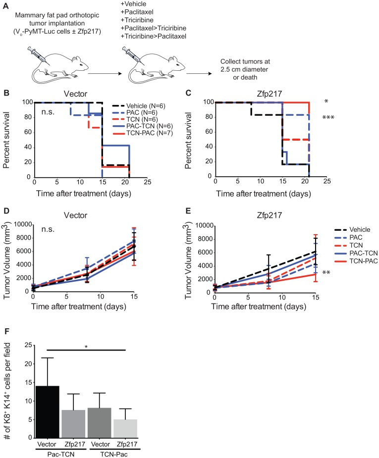 Triciribine-paclitaxel (TCN→PAC) combination therapy increases survival and reduces tumor volume in immunocompetent mice with tumors that overexpress Zfp217 (A) Experimental overview. Vo-PyMT-Luc cells constitutively overexpressing vector or Zfp217 were orthotopically injected into recipient FVB mammary glands. Mice received weekly treatments of single or dual agent combination therapy. The dual agent regimen was administered with a delay of approximately 24 hours between delivery of the first and second drug. Tumor tissue was collected at death or at the terminal endpoint, when the tumor diameter reached 2.5 cm. (B) Kaplan-Meier curves of recipient FVB mice bearing orthotopically grown Vo-PyMT-Luc cells expressing vector received single or dual agent combination therapy or vehicle. Kaplan-Meier survival curves show no change in median survival between cohorts. (C) Kaplan-Meier curves of FVB mice bearing orthotopically grown Vo-PyMT-Luc cells that are constitutively expressing Zfp217 received single or dual agent combination therapy or vehicle. Kaplan-Meier survival curves show a significant decrease in median survival between single agent paclitaxel and dual agent triciribine-paclitaxel compared to vehicle (p=0.0003 and p=0.02 by log-rank test, respectively). (D) Tumor burden in vector expressing glands after treatment. Tumor volume was compared using linear regression analysis and the slopes of the lines were not significantly different between vehicle and chemotherapy treated vector expressing tumors. (E) Tumor burden in Zfp217 overexpressing glands after treatment. Tumor volume was compared using linear regression analysis and the slopes of the lines were significantly different between vehicle and triciribine-paclitaxel treated Zfp217 expressing tumors (p=0.001). (F) Quantification of K8 + K14 + cells. Bar graph showing results of number of K8 + K14 + cells per field for dual agent treated cohorts expressing vector or Zfp217. There was a significant decrease in