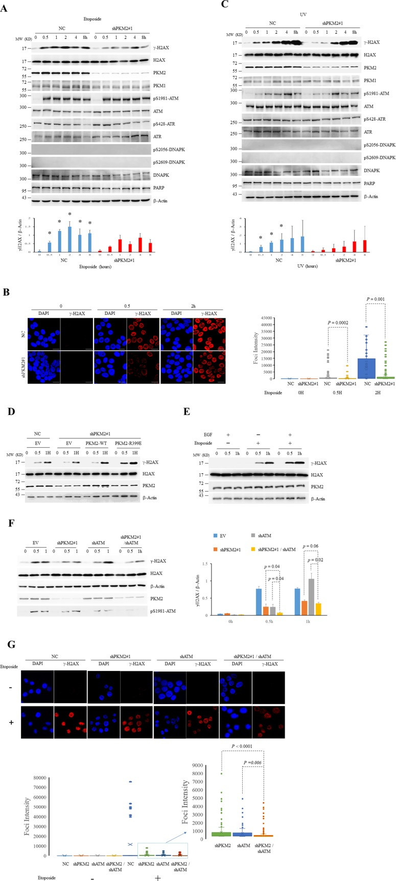 PKM2 promotes DDR (A-C) MCF7 cells infected with shPKM2#1 or NC were exposed to etoposide (A and B) or UV (C) for hours as indicated, followed by immunoblots for the indicated proteins (A and C) or immunofluorescent analyses (B) with DAPI co-staining. The protein bands on the gels were quantified by densitometry and shown on the bottom panels (A and C). * p