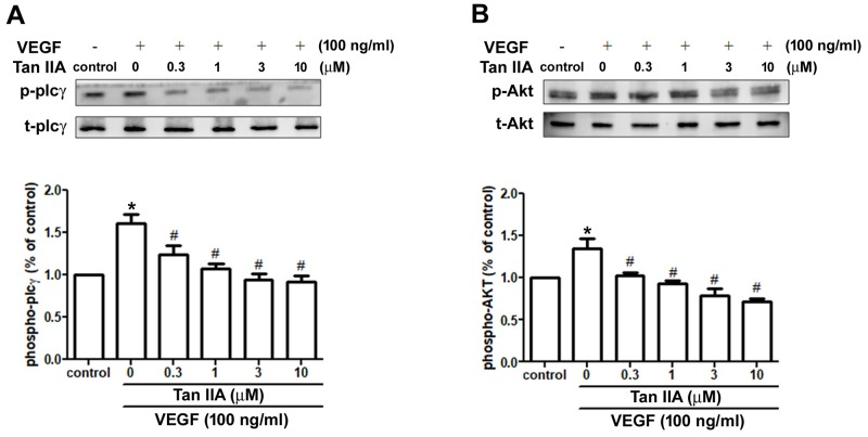 Effects of tanshinone IIA on PLC and Akt signaling pathways in human EPCs EPCs were incubated with VEGF-A (100 ng/ml) and the indicated concentrations of tanshinone IIA for 24 h. Phosphorylation of PLC (A) and Akt (B) was examined by Western blotting. Data represent the mean ± S.E.M. of four independent experiments. * , p