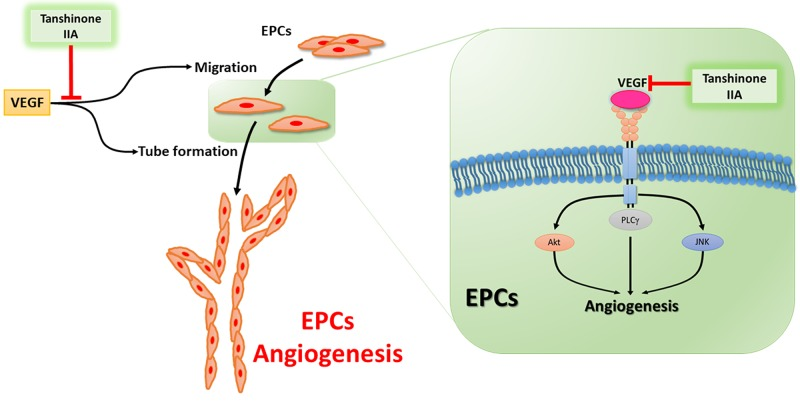 Schema of tanshinone IIA-induced anti-angiogenesis property in human endothelial progenitor cells Tanshinone IIA reduces EPCs angiogenesis in vitro and in vivo by controlling the PLC, Akt and JNK signaling pathways.