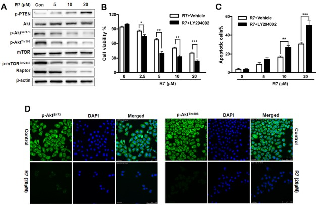 R7 inhibits cancer-related PI3K/PTEN/Akt/mTOR activation in HeLa cells Following R7 treatment, p-PTEN, Akt, p-Akt Ser473 , p-Akt Thr308 , mTOR, p-mTOR Ser2448 , and raptor were evaluated via western blotting. (A) Cells were treated with R7 with or without LY294002 (5 μM) pretreatment, and cell viability was determined by MTT assay. (B) Apoptosis induction was analyzed via flow cytometry. (C) p-Akt Ser473 and p-Akt Thr308 levels were assessed using fluorescence microscopy. (D) Original magnification: 400×.