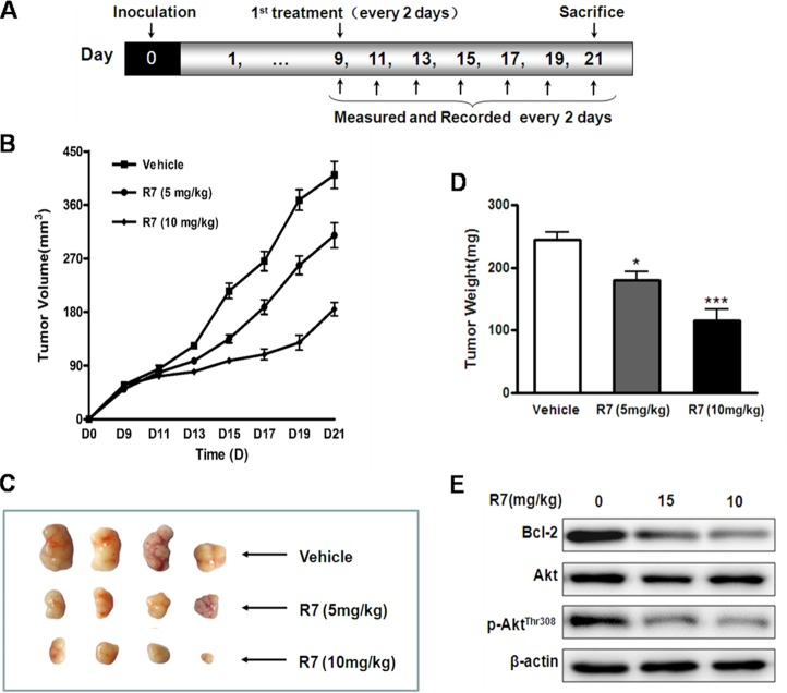 In vivo R7 anti-tumor efficacy HeLa cell mouse xenograft model. (A) BALB/c male athymic mice were inoculated with 1×10 7 cells subcutaneously on d 0. R7 (5 or 10 mg/kg/day) or vehicle was administered intraperitoneally once every 2 d from d 9–21, and mice were sacrificed on d 21. Tumor volumes were monitored and tumor volume curves recorded once every 2 d. (B) Representative tumors removed from the indicated treatment groups on day 21. (C) Average tumor mass at sacrifice after R7 treatment. (D) Bcl-2, Akt, and p-Akt Thr308 levelsin xenograft tissues were evaluated via western blotting (E) .