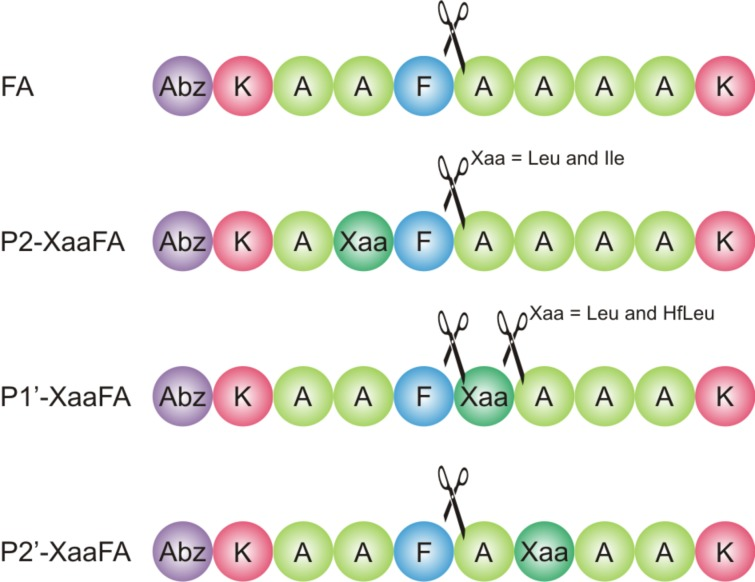 Cleavage positions observed in the digestion of library peptides with α-chymotrypsin.