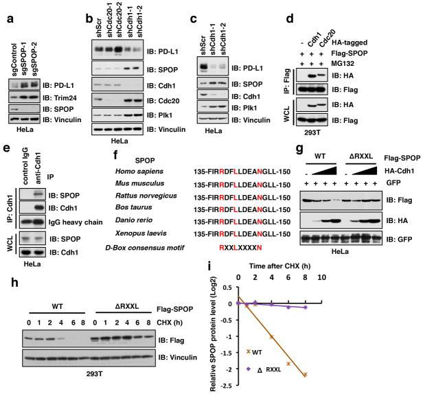 Depletion of Cdh1 , but not Cdc20 , prolongs SPOP proteins stability, which is simultaneously coupled with a decrease in PD-L1 protein level a–c, Immunoblot (IB) analysis of whole cell lysates (WCL) derived from HeLa depleted SPOP through the CRISPR-Cas9 system (a) or depleted Cdc20 or Cdh1 through multiple independent shRNAs (b, c) . d, IB analysis of WCL and immunoprecipitation (IP) derived from 293T cells transfected with indicated constructs and treated with MG132 (10 μM) for 12 hours before harvesting. e, IB analysis of WCL and IP derived from HeLa cells treated with MG132 (10 μM) for 12 hours before harvesting. f, A sequence comparison of D-box motif (RxxLxxxxN) in SPOP derived from different species. g, IB analysis of WCL derived from HeLa cells transfected with indicated constructs. h, i, IB analysis of WCL derived from 293T cells transfected with indicated constructs. 36 h post transfection, cells were treated with cycloheximide (CHX) as indicated time points before harvesting (h) . The protein abundance of SPOP-WT and deletion of RxxL mutant were quantified by the ImageJ software (i) .