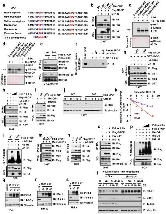 Cyclin D/CDK4-mediated phosphorylation of SPOP at the Ser6 residue promotes its binding with 14-3-3γ to reduce its poly-ubiquitination and subsequent degradation by APC/Cdh1 a, A sequence comparison of conserved SP sites and putative 14-3-3γ binding motif in SPOP. b, Immunoblot (IB) analysis of whole cell lysates (WCL) and immunoprecipitation (IP) derived from 293T cells transfected with indicated constructs and treated with MG132 (10 μM) for 12 hours before harvesting. c, d, In vitro kinase assays with recombinant Rb and SPOP as substrates and cyclin D1/CDK4, cyclin D2/CDK4 and cyclin D3/CDK4 as kinase complex were performed. BSA was used as a negative control where indicated. e, IB analysis of WCL and immunoprecipitation (IP) derived from MDA-MB-231 cells transfected with indicated constructs, which were treated with/without palbociclib (1 μM) for 12 hours. f, Streptavidin beads pull-down assay for biotin-labeled SPOP peptide with/without phosphorylation at the Ser6 residue to examine its in vitro association with 14-3-3γ. g, IB analysis of WCL and GST pull-down precipitates derived from 293T cells transfected with indicated constructs and treated with MG132 (10 μM) for 12 hours before harvesting. h, i, IB analysis of WCL and IP derived from 293T cells transfected with indicated constructs and treated with MG132 (10 μM) for 12 hours before harvesting. j, k, IB analysis of WCL derived from 293T cells transfected with indicated constructs. 36 h post transfection, cells were treated with 20 μg/ml cycloheximide (CHX) as indicated time points (j) . The protein abundance of SPOP-WT and S6A mutant were quantified by the ImageJ software and plotted accordingly (k) . l, p, IB of WCL and Ni-NTA pull-down products derived from the lysates of PC3 cells transfected with the indicated constructs. Cells were treated with MG132 (30 μM) for 6 hours before harvesting and lysed in the denaturing buffer for following assay. m–o, IB analysis of WCL and IP derived from 293T cells trans