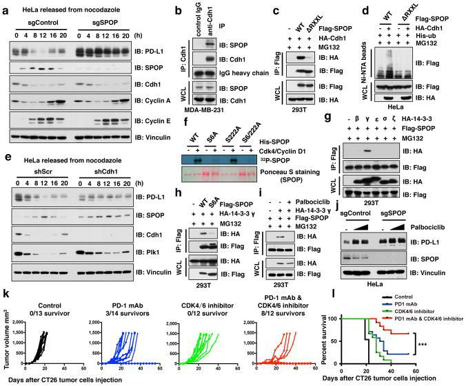 Cyclin D-CDK4-mediated phosphorylation of SPOP stabilizes SPOP largely through recruiting 14-3-3γ to disrupt its binding with Cdh1 a–e, IB of WCL derived from HeLa cells with/without depletion of SPOP ( a ) or Cdh1 ( e ) synchronized in M phase by nocodazole treatment prior to releasing for the indicated times, IP and WCL derived from MDA-MB-231 ( b ) or 293T ( c ) cells, or Ni-NTA pull-down products derived from HeLa cells transfected with the indicated constructs ( d ). Cells were treated with MG132 (30 μM) for 6 hours in b–d . f, In vitro kinase assays showing that cyclin D1/CDK4 phosphorylates recombinant SPOP at Ser6, not Ser222. g–j, IB analysis of IP and WCL derived from 293T cells transfected with indicated constructs and treated with MG132 (10 μM) or with/without palbociclib (1 μM) for 12 hours ( g–i ), or HeLa cells with/without depletion of SPOP treated with palbociclib (0.5, 1 μM) for 48 hours ( j ). k, CT26 implanted tumor-bearing mice were enrolled in different treatment groups as indicated. Tumor volumes of mice treated with control antibody (n = 13), anti-PD-1 mAb (n = 14), the CDK4/6 inhibitor, palbociclib (n = 12) or combined therapy (n = 12) were measured every three days and plotted individually. We repeated this experiment twice. l, Kaplan-Meier survival curves for each treatment group demonstrate the improved efficacy of combining PD-1 mAb with the CDK4/6 inhibitor, palbociclib. *** P