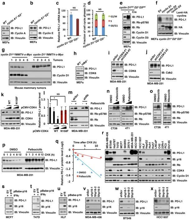 <t>Cyclin</t> D/CDK4 negatively regulates PD-L1 protein stability a, b, Immunoblot (IB) analysis of whole cell lysates (WCL) derived from wild type (WT), cyclin A1 −/− A2 −/− or WT, cyclin E1 −/− E2 −/− MEFs. c, Quantitative real-time PCR (qRT-PCR) analysis of relative mRNA levels of PD-L1 from wild type MEFs and cyclin D1 −/− D2 −/− D3 −/− MEFs. Data were represented as mean ± s.d, n = 5. d, Cell cycle profiles for WT and cyclin D1 −/− D2 −/− D3 −/− MEFs, which were labeled with BrdU and analyzed by FACS. e, IB analysis of WCL derived from cyclin D1 fl/fl D2 −/− D3 fl/fl MEFs with or without depleting cyclin D1 and cyclin D3 by pLenti-Cre via viral infection (pLenti-EGFP as a negative control), selected with puromycin (1 μg/ml) for 72 hours before harvesting. f, IB analysis of WCL derived from cyclin D1 −/− D2 −/− D3 −/− MEFs stably reintroducing cyclin D1 , <t>cyclin</t> D2 , or cyclin D3 , respectively, with empty vector (EV) as a negative control. g, IB analysis of WCL derived from mouse mammary tumors induced by MMTV- c-Myc with/without genetic depletion of cyclin D1 . n = 5 mice per experimental group. h, IB analysis of WCL derived from WCL derived from wild type and cdk6 −/− MEFs. i, j, IB analysis of WCL derived from MDA-MB-231 cells stably expressing shCDK6 or shCDK2 as well as shScr as a negative control, respectively. k, l, IB analysis of WCL derived from MDA-MB-231 cells transfected with indicated constructs (k) and the intensity of PD-L1 band was quantified by the ImageJ software (l) . m, IB analysis of WCL derived from MDA-MB-231 cells depleted of Rb (with shScr as a negative control) treated with the CDK4/6 inhibitor, palbociclib, where indicated. n, o, IB analysis of WCL derived from mouse CT26 or 4T1 tumor cell lines treated with or without the CDK4/6 inhibitor, palbociclib or ribociclib, respectively. p, q, IB analysis of WCL derived from MDA-MB-231 cells pre-treated with palbociclib (1 μM) for 36 hours before treatment with cycloheximide (CHX) for
