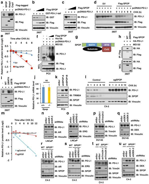 SPOP negatively regulates PD-L1 protein stability in a poly-ubiquitination dependent manner a–c, Immunoblot (IB) analysis of whole cell lysates (WCL) derived from 293T cells transfected with indicated constructs. d, e, IB analysis of WCL derived from 293T cells transfected with indicated constructs. 36 h post transfection, cells were treated with 20 μg/ml cycloheximide (CHX) at indicated time points (d) . The PD-L1 protein abundance were quantified by the ImageJ software and plotted (e) . f, IB of WCL and Ni-NTA pull-down products derived from the lysates of PC3 cells transfected with the indicated constructs. Cells were treated with MG132 (30 μM) for 6 hours before harvesting and lysed in the denaturing buffer. g, A schematic illustration of SPOP with MATH and BTB domain to interact with substrate and Cullin 3, respectively. h, IB analysis of WCL and IP derived from 293T cells transfected with indicated constructs and treated with MG132 (10 μM) for 12 hours before harvesting. i IB analysis of WCL derived from 293T cells transfected with indicated constructs. j, qRT-PCR analysis of relative mRNA levels of PD-L1 from Spop +/+ and Spop −/− MEFs. Data were represented as mean ± s.d, n=5. k, IB analysis of WCL derived from PC3 cells infected with indicated lentiviral shRNAs against SPOP and selected with puromycin (1 μg/ml) for 72 hours before harvesting. l–m, IB analysis of WCL derived from C42 cells with depletion of SPOP using sgRNA and treated with cycloheximide (CHX) for indicated time points before harvesting (l) . The PD-L1 protein abundance were quantified by the ImageJ software and plotted (m) . n, o, IB analysis of WCL derived from LNCaP cells stably expressing shAR or shERG as well as shScr as a negative control. p, q, IB analysis of WCL derived from DU145 cells stably expressing shTrim24 or shDEK as well as shScr as a negative control. r–u, IB analysis of WCL derived from C42 SPOP WT and SPOP −/− cells that stably expressed shAR, shERG, shTrim24, or shDEK as