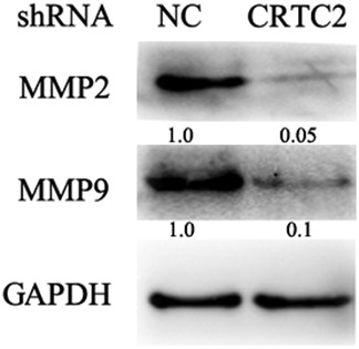 Knockdown of CRTC2 suppresses matrix metalloproteinase (MMP) expression. The indicated proteins were detected by Western blot. Glyceraldehyde 3‐phosphate dehydrogenase (GAPDH) was detected as an input control. NC, negative control; shRNA, small hairpin RNA.