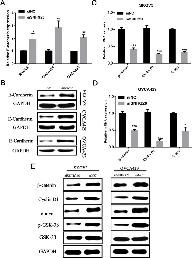 The effect of SNHG20 knockdown on Wnt/β-catenin signaling pathway in ovarian cancer cells Ovarian cancer cells were transfected with siSNHG20 or siNC, then these cells were subjected to q-PCR ( A ) and Western blot ( B ) for testing the mRNA and protein level of E-cadherin. ( C–E ) The mRNA level and protein level of β-catenin, GSK-3β, p-GSK-3β and several targets of Wnt/β-catenin signaling were examined by q-PCR and western blot in SKOV3 and OVCA429 cells. qRT-PCR results were normalized by β-actin. Data represent the mean ± S.E.M. from three independent experiments; *** P