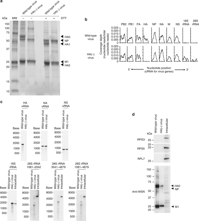 Next-generation sequencing (NGS) analysis of RNAs present within wild-type or HA(−)virions. a SDS-PAGE of purified wild-type and HA(−) virions treated with or without dithiothreitol (DTT) followed by Oriole staining. MW molecular weight marker. b Read coverage over the influenza virus genome. RNAs were extracted from purified virions and subjected to NGS analysis. Read sets from the wild-type and HA(−) viruses were mapped onto the influenza A virus genome and 18S and 28S rRNA sequences. Coverage depth is indicated as a ratio (coverage depth per nucleotide/total nucleotides read). The read sets of wild-type and HA(−) viruses are shown in the upper and lower columns, respectively. Nucleotide positions are indicated in the cRNA-sense for each <t>vRNA.</t> c An equal amount (5 ng) of RNA was subjected to northern blot analysis. The HA, NA, and NS vRNAs, 18S rRNA, and <t>three</t> different 28S rRNA (representing nucleotide positions 1081–2042, 3541–4679, and 1081–4679) specific riboprobes were used for detection. Intracellular RNAs from uninfected MDCK cells were used as a control. d Purified wild-type virions, HA(−) virions, and cell lysates were subjected to western blot analysis using anti-RPS3, anti-RPS5, and anti-RPSL7 antibodies and an anti-whole influenza virion polyclonal antibody