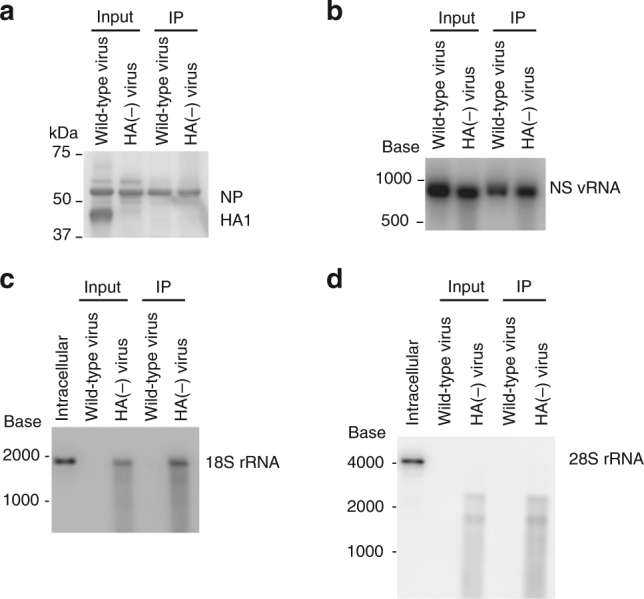 Co-immunoprecipitation of 18S and 28S rRNA with the NP protein. Purified virions were disrupted in buffer containing TritonX-100, incubated with an anti-NP antibody, and precipitated with Protein G beads. a The precipitates were subjected to western blot analysis using an anti-whole virion polyclonal antibody. b – d RNAs were extracted from the precipitate and were subjected to northern blotting by using riboprobes specific for NS vRNA ( b ), 18S rRNA ( c ), and 28S rRNA ( d ). IP immunoprecipitation