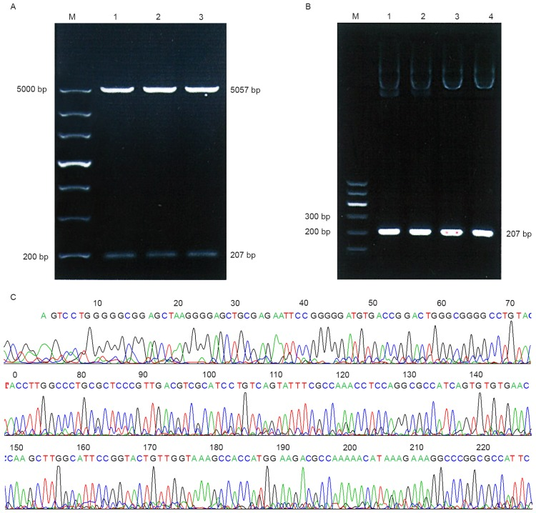 Identification of the recombinant plasmid POT1-promoter-1. (A) Electrophoresis of BglII and HindIII digested products. M, molecular weight marker (200–5,000 bp); lane 1–3, enzyme digestion products (5,057 and 207 bp). (B) Electrophoresis of the PCR products. M, molecular weight marker (100–600 bp); lane 1–4, the PCR products (207 bp) of the POT1-promoter-1 plasmid using primers for POT1-promoter-1. (C) Sequencing results of POT1-promoter-1. POT1, protection of telomere 1; PCR, polymerase chain reaction; bp, base pairs.