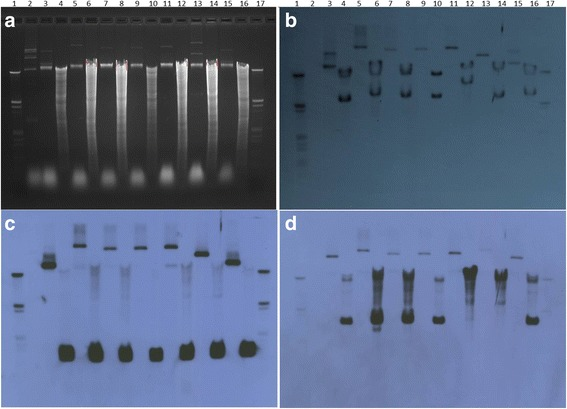 Total genomic and plasmid extractions of strains were subjected to electrophoresis ( a ) and probed with pthA probe (using primer pthAF/R DIG as the probe), Xc-A306-p33 and Xc-A306-p64 plasmid specific probes by Southern hybridization ( b , c and d , respectively). Lanes 1 and 17 = <t>DNA</t> Molecular Weight Marker III DIG labeled; 2 = Erwinia stewartii SW2; 3 = Xc-A306 plasmid extraction (pXc-A306); 4 = Xc-A306 genomic DNA restricted with EcoRI (Xc-A306 EcoRI); 5 = <t>pXc-03-1638-1-1;</t> 6 = Xc-03-1638-1-1 EcoRI); 7 = pXc-A2090; 8 = Xc-A2090 EcoRI; 9 = pXc-A1660; 10 = Xc-A2090 EcoRI; 11 = pXc-AEtrog; 12 = Xc-AEtrog EcoRI; 13 = pXc-A100-Japan; 14 = Xc-A100 Japan EcoRI; 15 = pXc-A109 India; 16 = Xc-A109 India EcoRI. A = Ethidium bromide stained gel (agarose 0.7%). b Southern blot of gel in A with pthA probe. c Southern blot of gel in A with Xc-p33 probe (using primer SPCF33F/R DIG as the probe). d Southern blot of gel in A with Xc-p64 probe (using primer SPCF64F/R DIG as the probe)