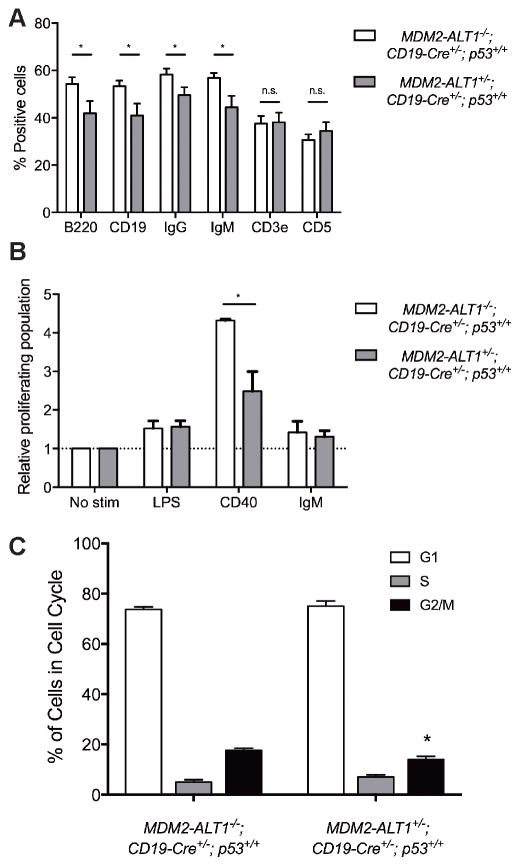 Transgenic mice expressing MDM2-ALT1 in B cells show significantly reduced populations of cells with B cell markers and defects in proliferation in spleens compared to controls A. Spleens of age-matched control ( MDM2-ALT1 −/− ; CD19-Cre +/− ; p53 +/+ ) and experimental ( 2C12-MDM2-ALT1 +/− ; CD19-Cre +/− ; p53 +/+ ) mice were harvested at 18 months and the splenocytes were stained for B cell markers CD19, <t>B220,</t> IgG or <t>IgM</t> or T cell markers CD3e or CD5. Compared to MDM2-ALT1-negative control mice ( n = 18) the MDM2-ALT1-positive experimental ( n = 15) mice showed a statistically significant decrease in the population of cells expressing B cell markers but no changes in T cell population. B. Splenocytes isolated from control ( n = 4) and experimental ( n = 5) mice were labeled with a fluorescence marker, CFSE, and stimulated for 72 hours with lipopolysaccharides (LPS), CD40 ligand, or anti-IgM molecules. When stimulated with CD40, the MDM2-ALT1 expressing experimental cohort showed a significantly lower proliferative response compared to splenocytes from control mice. The proliferating population was measured by gating for cells displaying low CFSE fluorescence intensity, indicative of dilution of the dye upon cell division. The percent proliferating population from each group was normalized to the respective non-stimulated control set (No stim). * indicates p