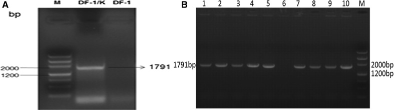 ( A ) PCR amplification of the env gene from DF-1/K cells. (M) DNA marker; (DF-1/K): Genomic DNA extracted from DF-1/K cells; (DF-1): Genomic DNA extracted from DF-1 cells. ( B ) Verification of the stability of the ALV-K env gene in DF-1/K cells during passage. (M) DNAMarker; Lanes 1-5 and 7-10: ALV-K env gene cell-culture passage levels 5, 15, 25, 30, 35, 40, 45, 50, 60, respectively; Lane 6: DF-1 cells (negative control)