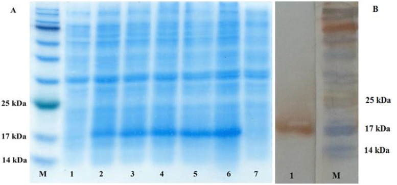 Identification of EG95 expression in E.coli BL21 (DE3) pLysS bacteria by (A) SDS-PAGE and (B) western-blotting. M: prestained protein marker. A: lane 1: Non-induced bacteria transfected with pET28a- EG95 ; 2: 1-hour induced bacteria transfected with pET28a- EG95 with 1 mmol/L IPTG; 3: 2-hour induced bacteria transfected with pET28a- EG95 ; 4: 3-hour induced bacteria transfected with pET28a- EG95 ; 5: 4-hour induced bacteria transfected with pET28a- EG95 ; 6: 5-hour induced bacteria transfected with pET28a- EG95; 7: Bacteria transfected with empty pET28. B: Lane 1: rEG95-His/pET28a detected with the anti-His monoclonal antibodies