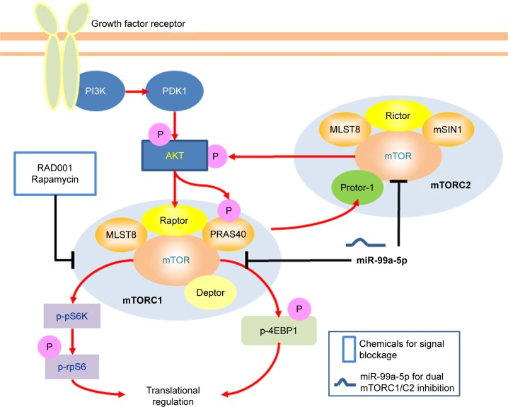 Schematic presentation of a mechanistic model showing miR-99a-5p blocking mTORC1 and mTORC2 signaling. Note: Targeting mTOR by miR-99a-5p facilitates mTORC1 and mTORC2 blockage, thus without AKT activation. Abbreviations: mTORC1, mTOR complex 1; mTORC2, mTOR complex 2; mTOR, mammalian target of rapamycin.