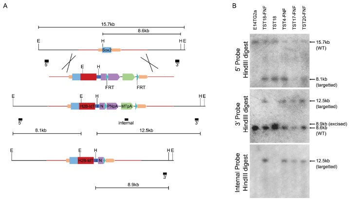 ( A ) Targeting T2A-H2b-tdTomato to the Sox2 locus stop codon yields the Sox2::HT fluorescent reporter allele. The Sox2 ORF is represented by a blue box and the Sox2 UTRs by beige boxes; homology arms are shown (red line). The Sox2::HT ORF is followed by GtxIRES-Neo and an FRT-flanked PGK-Neo-pA (PNpA)/MC1-TK-pA (MTpA) selection cassette. The FRT sites (cyan triangles), EcoRI sites (E), HindIII sites (H) and probes (black boxes) used for Southern analysis are shown. Sizes of relevant fragments produced before and after targeting and excision of the FRT-flanked cassette are indicated. ( B ) Southern analysis of TST cell lines expanded after G418 selection. FNF denotes lines prior to excision of the FRT-flanked cassette.