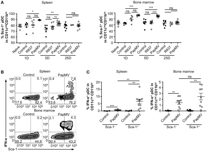 PapMV induces Sca-1 on splenic and bone marrow-derived plasmacytoid dendritic cell (pDCs), despite its expression not being associated with interferon (IFN)-α production. (A) Percentages of pDCs from spleen (left) and bone marrow (right) positive for Sca-1 expression 1, 5, and 25 days following an immunization with control (black squares), R837 (open inverted triangles), and PapMV (open circles) ( n = 2–4, 1–3 mice per group). (B) Representative flow cytometry plots of IFN-α production by pDCs according to their Sca-1 expression profile 4 h postimmunization followed by a 4-h incubation with Brefeldin A (BFA). Spleen (top) and bone marrow (bottom) samples are represented. (C) Percentages of intracellular IFN-α + pDCs found in the spleen (left) and the bone marrow (right) 4 h following an immunization with control or PapMV followed by 4-h incubation with BFA before intracellular staining (* p