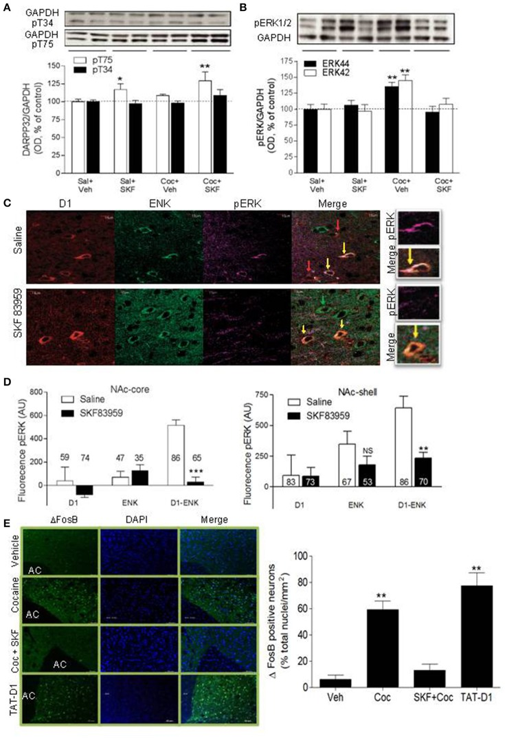 Signaling pathways involved in D1-D2 heteromer modulation of cocaine-induced behaviors: DARPP-32, ERK and <t>ΔFosB.</t> (A) Representative immunoblots of pT34-DARPP-32 (top panel) or pT75-DARPP-32 (lower panel) obtained from NAc of rats conditioned with saline or cocaine (10 mg/kg, i.p.) and injected on the test day with saline or SKF 83959. Loading controls <t>(GAPDH)</t> are shown. Quantification of pT34- and pT75-DARPP-32 immunoblots is shown. (B) Representative immunoblot of pERK44/42 obtained from the NAc of rats conditioned as in (A) is shown. Quantification of pERK44/42 immunoblots obtained from all animals is shown. Results in (A,B) represent the mean ± SEM from 8 to 9 rats/condition. * p