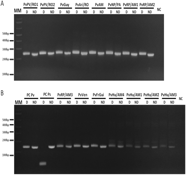 Nested/PCR-RFLP of P. vivax DNA samples. 15 DNA samples from P. vivax infected individuals from different parts of Amazon: Porto Velho/Rondônia State, Brazil (PvPV/RO1 and 2), Guyana (PvGuy), Ariquemes/Rondônia State, Brazil (PvAri/RO), Venezuela (PvVen), French Guiana (PvFrGui), Novo progresso/Pará State, Brazil (PvNP/PA), Rio Pardo/Amazonas State, Brazil (PvRP/AM1, 2 and 3), Humaita/Amazonas State, Brazil (PvHu/Am1, 2, 3 and 4) and unknown city in Amazonas State, Brazil (PvAM) were used for Nested PCR amplification followed by digestion with Hpy CH4III restriction enzyme. 3% Agarose gel stained with ethidium bromide. Name tags above gels indicated the patients according to Additional file 2. Reactions were performed simultaneously in the same thermocycler and splited in different gels. MM: 1 kb Plus Ladder. D: Digested (8 μL of digestion); ND: Non Digested (the equivalent amount of PCR product used in the digestion, 6.5 μL of samples and 5 μL of controls); PC Pv: positive control of P. vivax (pool of samples from infected patient from Amazonia); PC Ps: positive control of P. simium ( Alouatta g. clamitans infected with P. simium previously sequenced 30 ); NC: negative Control.
