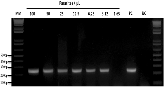 Detection limit of the Nested-PCR for a differential diagnosis of Plasmodium simium. P. simium human DNA sample were serially diluted 2-fold with a starting parasitemia of 100 parasites/µL to 1.65 parasites/µL. 2% Agarose gel stained with ethidium bromide. MM:1 kb Plus Ladder, PC: positive control, NC: negative control (without DNA).