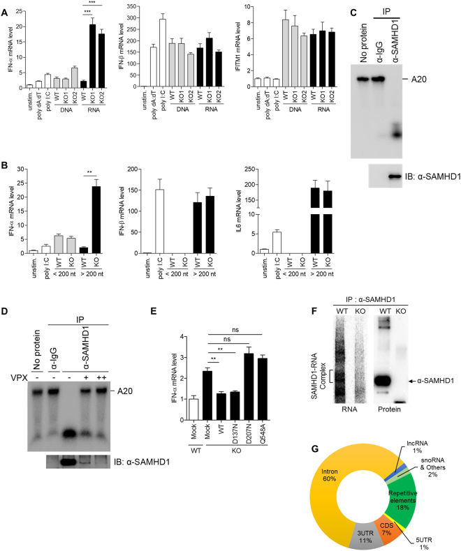 Accumulated RNAs in SAMHD1 -deficient cells function as immune stimuli. ( A , B ) PMA-differentiated wild-type THP-1 cells were stimulated with poly dA:dT, poly I:C, an equal amount (5 μg/ml) of isolated total DNA and RNA from wild-type and SAMHD1 -deficient cells, or left unstimulated ( A ). Total RNA isolated from wild-type and SAMHD1 -deficient cells were further size-fractionated and an equal amount of RNA from each fraction was used to stimulate PMA-differentiated wild-type THP-1 cells ( B ), followed by qRT-PCR analysis of IFN-α , IFN-β , IFITM1 and IL6 mRNA levels. ( C , D ) In vitro RNase activity assay for SAMHD1 immunopurified from undifferentiated THP-1 cells using A20 single-stranded RNA substrates. An isotype-matched control anti-IgG and anti-SAMHD1 antibodies were used for immunopurification. THP1 cells were infected with serial dilution of Vpx-loaded or control SIV VLPs ( D ). ( E ) qRT-PCR analysis of IFN-α in wild-type and SAMHD1 -deficient cells reconstituted with indicated SAMHD1 wild-type and mutant constructs. ( F ) Autoradiography of SAMHD1-RNA complex and western blotting of SAMHD1 protein immunoprecipitated from SAMHD1 CLIP. ( G ) Pie chart showing the distribution of statistically significant peaks (q
