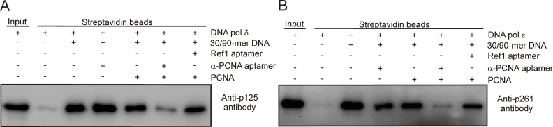 The impact of the α-PCNA aptamer and PCNA on the 30/90-mer primer-template DNA/DNA pol δ or ϵ complex. A 300 fmol sample of DNA pol δ ( A ) and 400 fmol of DNA pol ϵ ( B ) were incubated with 1 pmol of 30/90-mer primer-template DNA immobilized on streptavidin-agarose beads in buffer with or without 1 pmol of PCNA, and with 500 fmol ( A ) or 250 fmol ( B ) of reference1 (Ref1) or α-PCNA aptamer. After incubation, beads were washed, and bound protein was denatured, separated by 10% SDS-PAGE and subjected to western blotting. DNA pol δ and ϵ were detected using anti-p125 and -p261 antibodies, respectively. The presented results are representative.