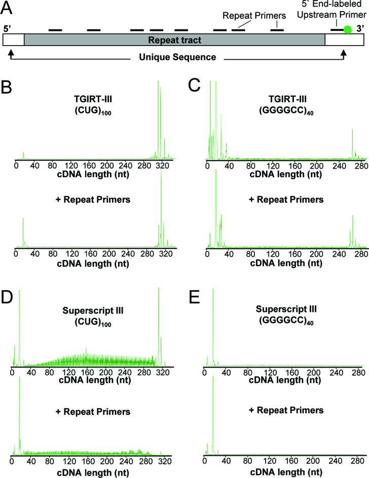 Reverse transcription across ER-RNA tracts using TGIRT-III or SS-III. ( A ) Diagram of ER-RNA showing HEX-labeled primer annealed 3′ of repeat tract and unlabeled primers tiled across the expanded repeat. ( B ) Representative chromatogram of cDNA generated by TGIRT-III from r(CUG) 100 in the presence or absence of intervening repeat primers. ( C ) Representative chromatogram of cDNA generated by TGIRT-III from r(GGGGCC) 40 , as in (B). ( D and E ) Representative chromatograms from r(CUG) 100 and r(GGGGCC) 40 templates using Superscript-III, as in (B) and (C).