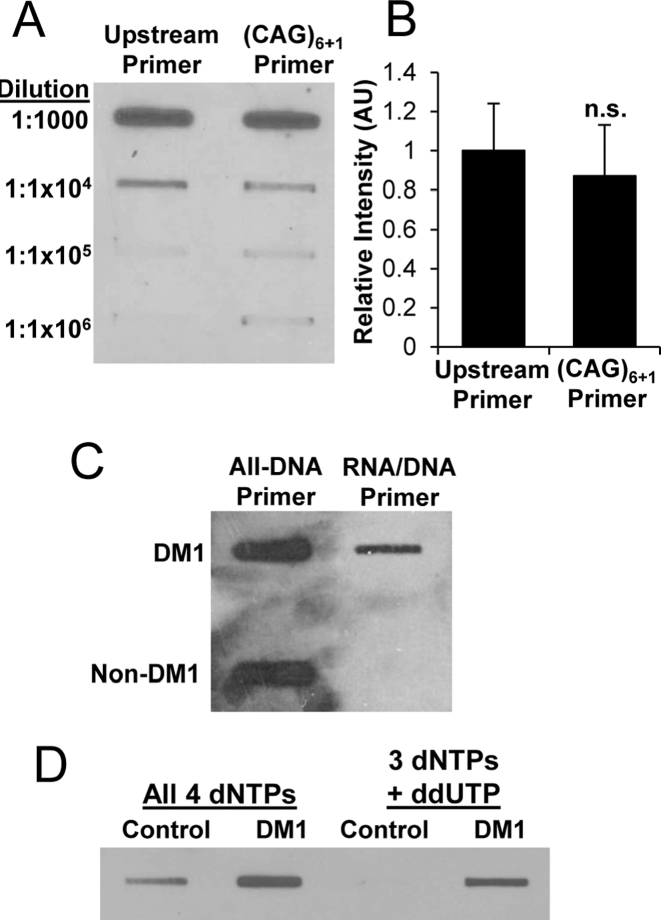 <t>cDNA</t> slot blots of <t>ER-RNA.</t> ( A ) Dilution series of cDNA obtained when r(CUG) 100 template was singly primed from upstream site versus multiply primed within the repeat tract by (CAG) 6+1 (RNA/DNA hybrid primers). ( B ) Quantification of cDNA slot blot in (A), (n = 3 for each condition). ( C ) cDNA slot blot analysis of total cellular RNA (2 μg) from DM1 versus non-DM1 cardiac tissue using all-DNA versus RNA/DNA hybrid primers. Both reactions in (C) used 3 dNTPs plus ddUTP. ( D ) cDNA slot blot analysis of total cellular RNA (2 μg) from healthy control or DM1 tibialis anterior muscle biopsy samples using all 4 dNTPs versus 3 dNTPs (dCTP, dATP, dGTP plus ddUTP chain terminator) in the RT reaction. The reactions in (D) used RNA/DNA hybrid primers.