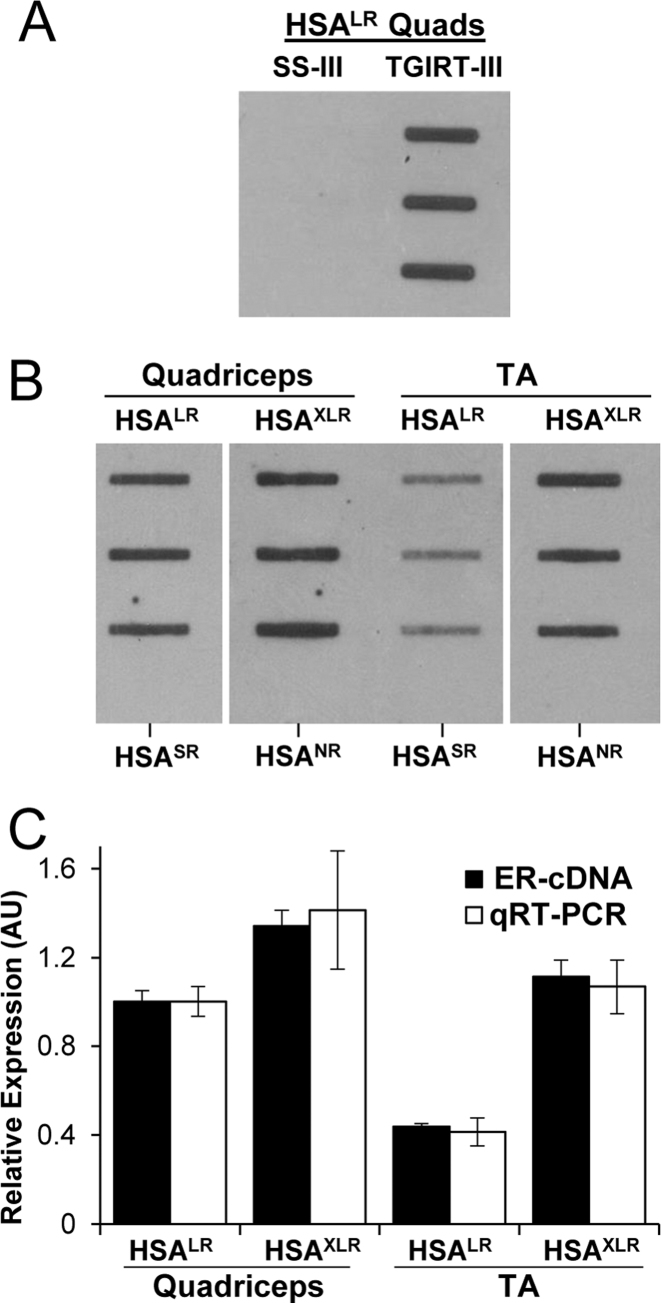 ER-RNA expression in transgenic mouse models of DM1. ( A ) cDNA slot blot of total cellular RNA from HSA LR quadriceps (Quads, 2 μg, three different mice) using Superscript-III (SS-III) or TGIRT-III. ( B ) cDNA slot blot of 2 μg total cellular RNA from quadriceps or tibialis anterior (TA) muscles from HSA LR and HSA XLR mice. Bottom-most wells in each column are from HSA SR or HSA NR mice, which do not express ER-RNA. ( C ) Relative amount of ER-RNA by cDNA slot blot in HSA LR and HSA XLR quadriceps and TA muscle (black bars, mean signal in HSA LR quadriceps set to 1), as compared to inferred ER-RNA level based on qRT-PCR (white bars, calculated by multiplying expression level x repeat length, with the mean product in HSA LR quadriceps set to 1). Results are based on n = 3 for HSA LR and HSA XLR mice. HSA transgene expression by qRT-PCR was normalized to general transcription factor 2b (Gtf2b) .