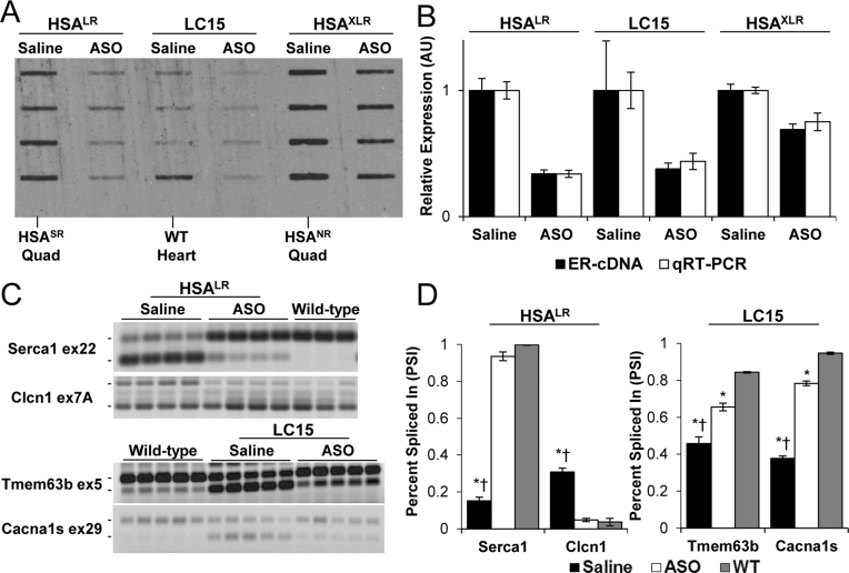 Responsivity of cDNA slot blot and alternative splicing to treatment with antisense oligonucleotides (ASOs) in transgenic mice. ( A ) cDNA slot blot of 2 μg total RNA from quadriceps muscle (HSA LR and HSA XLR mice) or left ventricle (LC15 mice) treated with subcutaneous injections of saline ( n = 4) or ASO ( n = 4 in each group). Negative control samples from HSA SR quadriceps, HSA NR quadriceps, or wild-type (WT) heart are indicated. ( B ) Relative ER-RNA quantification by cDNA slot blot (black bars) versus qRT-PCR (white bars). Saline-treated groups set to 1 for both assays. ( C ) RT-PCR analysis of alternative splicing in saline- versus ASO-treated HSA LR quadriceps ( Serca1 and Clcn1 ) and LC15 heart tissue ( Tmem63b and Cacna1s ), as compared to wild-type controls. The mean ± S.D. values of 'percent spliced in' for saline versus ASO versus wild-type groups were Serca1 exon 22: 15 ± 2%, 94 ± 2%, 100 ± 0%; Clcn1 exon 7A: 31 ± 2%, 5 ± 1%, 4 ± 2%); Tmem63b exon 5: 46 ± 4%, 66 ± 2%, 84 ± 0%; Cacna1s exon 29: 38 ± 1%, 78 ± 1%, 95 ± 1%). ( D ) Quantification of (C). ANOVA of Serca1 exon 22 ( P = 2.2 × 10 −9 ), Clcn1 exon 7A ( P = 4.4 × 10 −6 ), Tmem63b exon 5 ( P = 3.1 × 10 −9 ), and Cacna1s ( P = 3.7 × 10 −9 ). *Student's t -test versus WT P