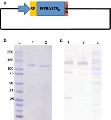 Plasmodium falciparum EBA175RIII–V construct and expressed antigen. A schematic representation of the 1620 bp region of EBA175RIII–V cloned into the pLEA2 expression vector, which contains the nucleotide sequence of a hexahistidine tag inframe of the multiple cloning site ( a ). The culture supernatant (1) containing the secreted protein as well as the purified protein (2) was analysed by SDS-PAGE followed by coomassie staining ( b ) and a western blot probed with penta-His mouse monoclonal antibody <t>(IgG1)</t> ( c )