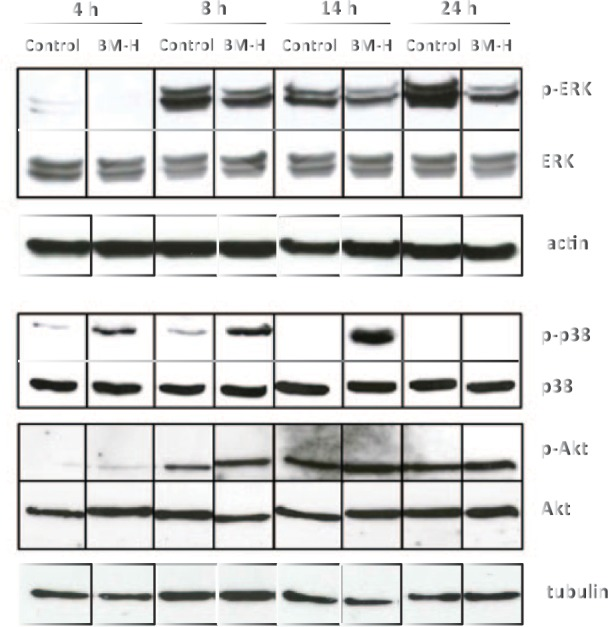 Time course effects of hexane fraction of resin methanol extract (BM-H) on MAPK pathway. Western blot bands represent phosphorylated ERK (p-ERK), total ERK (ERK), actin (as a housekeeping gene for ERK), phosphorylated p38 (p-p38), total p38 (p38), phosphorylated Akt (p-Akt), total Akt (Akt), and the housekeeping gene tubulin (to control both p-38 and Akt). Proteins were extracted from OCI cells treated with the vehicle (control) or with BM-H (BM-H) after 4, 8, 14, or 24 hours. Western blots are representative of 3 independent experiments.