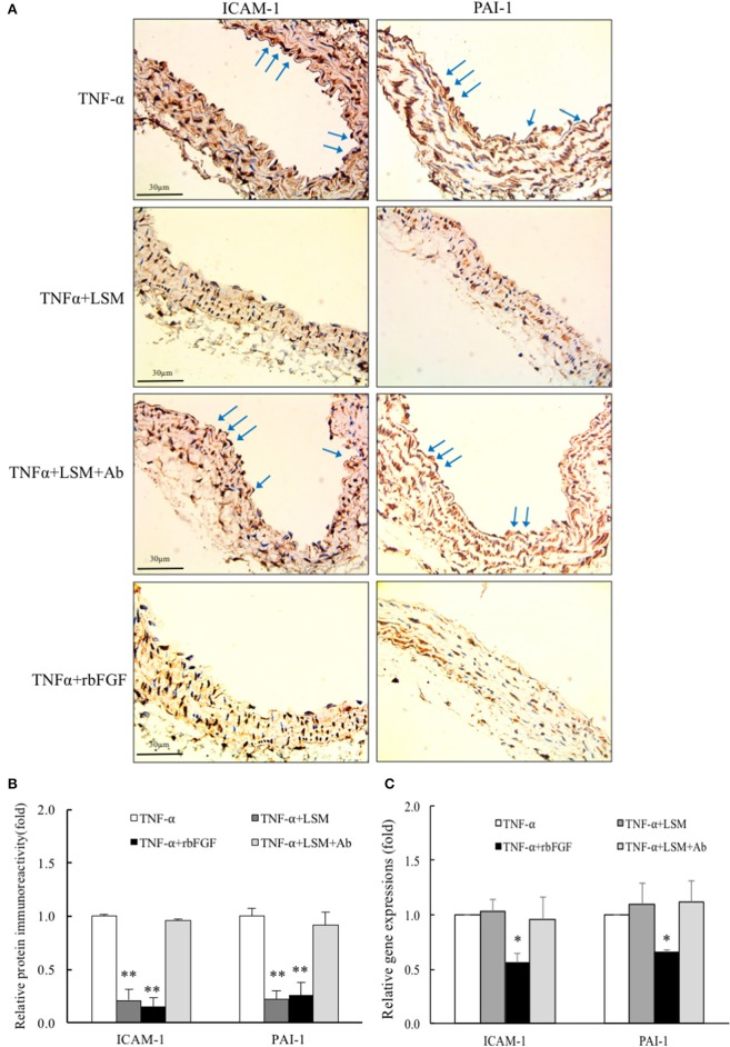 LSM and rbFGF suppresses TNF-α-induced ICAM-1 and PAI-1 protein and gene expression in vivo . (A) Immunohistochemical staining of ICAM-1 and PAI-1 proteins in thoracic aorta tissue. Representative images showing immunoreactivities of ICAM-1 and PAI-1 in the aortic endothelial layers (brown color as arrow) were decreased in the TNF-α+LSM and TNF-α+rbFGF groups compared to in the TNF-α group. The immunoreactivities of ICAM-1 and PAI-1 in the aortic endothelial layer were not decreased in the TNF-α+LSM+Ab group compared to in the TNF-α group ( n = 3). (B) Immunoreactivity signals in endothelial layers from 4 groups was quantified for all immunohistochemical images. ** p