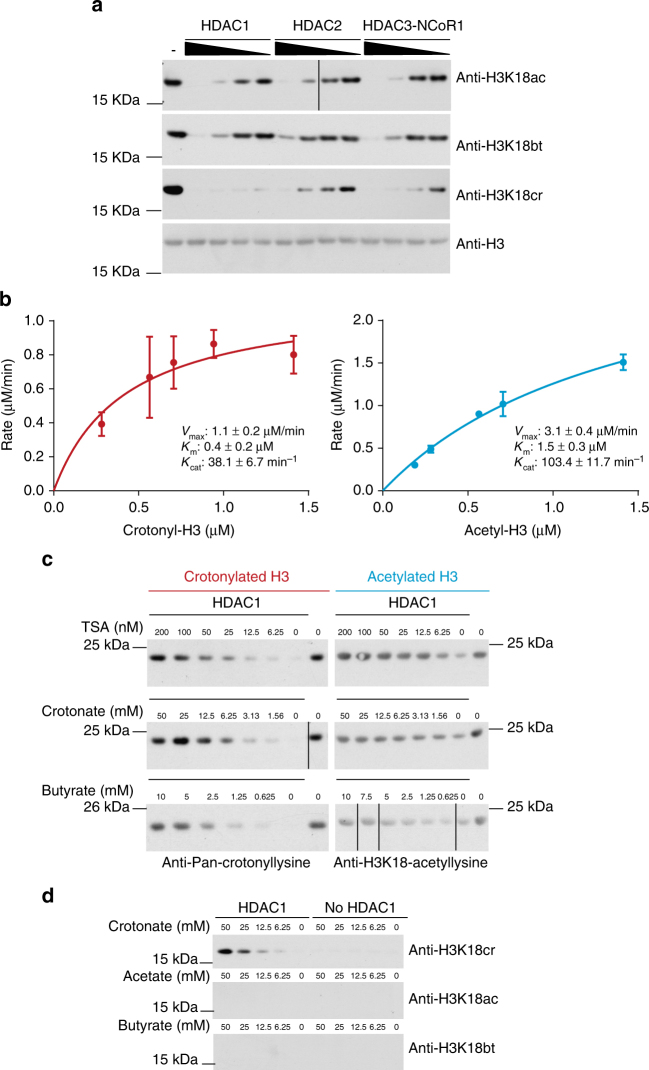 Class I HDACs are histone decrotonylases. a Histone H3 decrotonylation and deacetylation in vitro by HDAC1, HDAC2, or HDAC3/Ncor1 complex; 5.65 μM histones were crotonylated or acetylated in vitro and then subjected to removal of the modification by the indicated HDACs. HDAC1 was 0.25, 0.12, 0.06, and 0.03 μM. HDAC2 was 0.18, 0.09, 0.05, and 0.02 μM. HDAC3/Ncor1 complex was 0.45, 0.23, 0.11, and 0.06 μM. b Comparative kinetics of HDAC1 decrotonylation and deacetylation; 5.65 µM histones were crotonylated or acetylated and then subjected to removal of the modification by 0.03 µM HDAC1 for different lengths of time. Samples were analyzed by dot blotting and initial rates of reaction were determined by plotting substrate removal over time. Kinetic parameters V max , K m , and K cat , error bars are SEM, n = 3. c Effect of HDAC inhibitors TSA, crotonate, and butyrate on deacetylation and decrotonylation by HDAC1 in vitro. Representative blots of two repeat experiments are shown. d Histone crotonylation by HDAC1 using crotonate in vitro. Incubation of crotonate, acetate, or butyrate with or without HDAC1 followed by western blotting analysis with anti-H3K18ac/bt/cr. Western blot of HDAC1 and crotonate assay is representative of two western blots