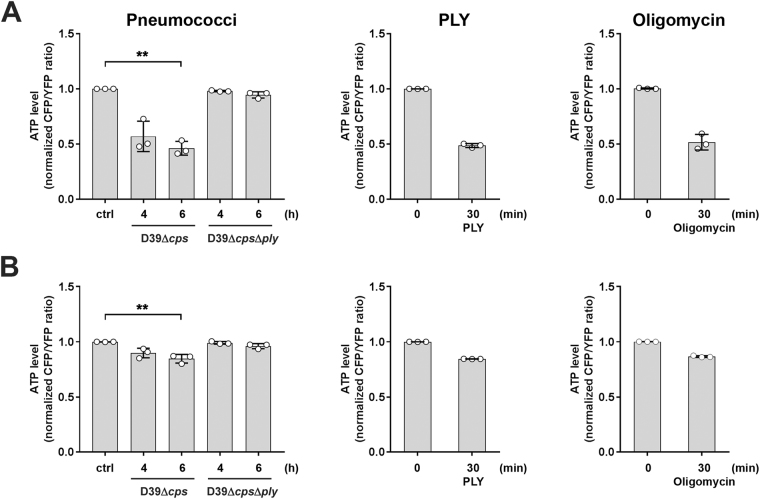 Infection with PLY expressing pneumococci and stimulation with PLY reduces cytosolic and mitochondrial ATP levels. A549 cells were transfected with plasmids encoding FRET-ATP sensors targeted to the cytosol ( A ) and mitochondria ( B ), respectively. 48 hours post transfection, cells were left unstimulated or infected with S . pn . D39Δ cps , S . pn . D39Δ cps Δ ply for 4 and 6 h, respectively, or stimulated with 0.25 µg/ml PLY for 30 min. Cells stimulated with 10 µg/ml Oligomycin for 30 min served as positive control. The ATP content is expressed as normalized ratio of the YFP/CFP peak intensity at 530 nm (YFP) and 478 nm (CFP), respectively measured by live spectral-FRET microscopy. Bars represent mean ± SD from n = 3 independent experiments. * P