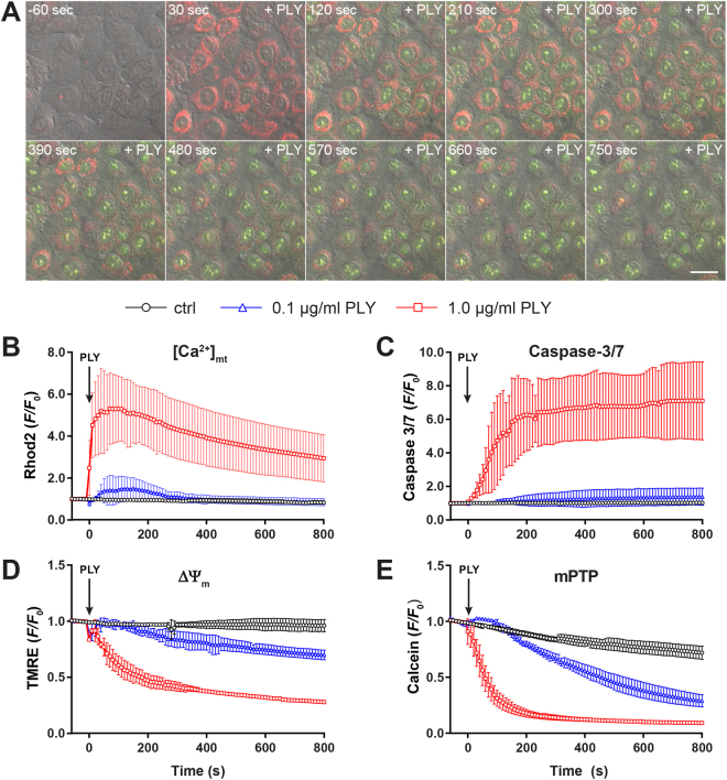 The effect of PLY on mitochondrial calcium, caspase-3/7 activation, membrane potential and opening of mPTP. ( A ) Representative time-lapse images of A549 cells loaded with the mitochondrial calcium sensor Rhod2-AM (red) and stimulated with 1.0 µg/ml PLY in the presence of the caspase-3/7 sensor (green). Scale bar represents 25 µm. ( B ) Quantification of mitochondrial calcium changes (Rhod2 F / F 0 ratios) in cells stimulated with 1.0 µg/ml and 0.1 µg/ml PLY or left untreated (mean ± SD from n = 5 independent experiments). ( C ) Quantification of caspase-3/7 induction ( F / F 0 ratios) in cells stimulated with PLY as described above or left untreated (mean ± SD from n = 3 independent experiments). ( D ) Quantification of changes in mitochondrial membrane potential (TMRE F / F 0 ratios) in cells stimulated with PLY as described above or left untreated (mean ± SD from n = 3 independent experiments). ( E ) Opening of the mPTP ( F / F 0 ratios) in cells stimulated with the indicated amount of PLY or left untreated (mean ± SD from n = 3 independent experiments).