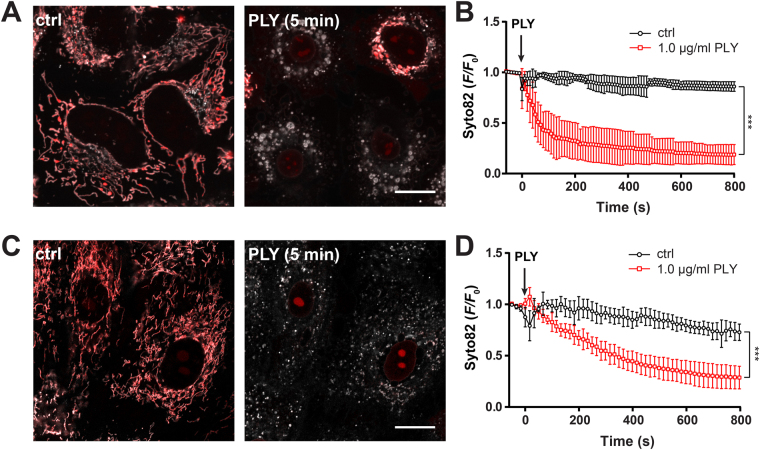 Real-time measurements of PLY induced release of mtDNA in A549 and primary human alveolar epithelial cells. ( A ) Representative confocal 2D plane of mitochondria in A549 cells stained with Syto82 (red) and MitoTrackerOrange (grey) left unstimulated or stimulated with 1.0 µg/ml PLY for 5 min. The scale bar represents 15 µm. ( B ) Quantification of mtDNA release (Syto 82 F / F 0 ratios) in cells stimulated as described above (mean ± SD from n = 5 independent experiments, *** P