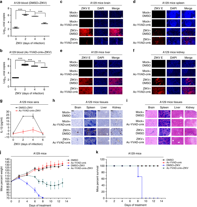 The effect of <t>caspase-1</t> inhibitor on ZIKV-induced inflammatory responses in mice. A129 mice (6 weeks old) were treated with DMSO or Ac-YVAD-cmk (8 mg/kg) by intraperitoneal injection 30 min and infected with ZIKV (5 × 10 5 PFU) or treated with PBS for the indicated times. a , b A129 mice were pretreated with DMSO ( n = 3; 2 males and 1 female) ( a ) or Ac-YVAD-cmk ( n = 3; 2 males and 1 female) ( b ) and then infected with ZIKV (5 × 10 5 PFU) for 0, 2, 4, and 6 days. ZIKV RNA in the mice blood was determined by RT-PCR. Data shown are whiskers: Min.–max.; * P