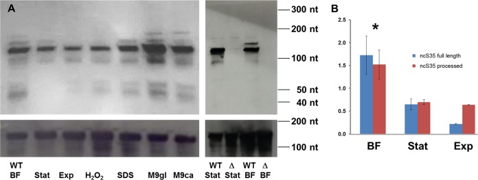 Expression of ncS35. (A) Northern blot assays. At the upper left is a Northern blot assay of ncS35 in wild-type (WT) B. cenocepacia J2315. Expression was evaluated in biofilms, stationary phase, and exponential phase. Responses to stress were evaluated in various media: LBB with 0.2% H 2 O 2 added 15 min prior to harvesting, LBB supplemented with 0.005% (wt/vol) SDS (membrane stress), and M9 supplemented with either 10 mM glucose (M9gl) or 0.2% (wt/vol) Casamino Acids (M9ca; lower nutrient availability). 5S RNA was used as a loading control. At the upper right is a Northern blot assay of the wild type and ΔncS35 (Δ) that confirms the deletion of ncS35 and the specificity of probe hybridization. The lower parts of panel A are 5S rRNA loading controls. Full-size images of Northern blot assays are depicted in Fig. S6 . (B) qPCR. Expression of ncS35 in B. cenocepacia J2315 was evaluated in exponential phase (Exp), stationary phase (Stat), and biofilms (BF) for full-length ncS35 (blue bars) and for both species combined (red bars). The locations of the primer pairs used are depicted in Fig. S1A . Fold changes were calculated relative to a cDNA standard (mixture of cDNA from all of the samples used in the experiment). Error bars represent standard deviations. ncS35 expression was significantly higher in biofilms than under all other conditions (*, P