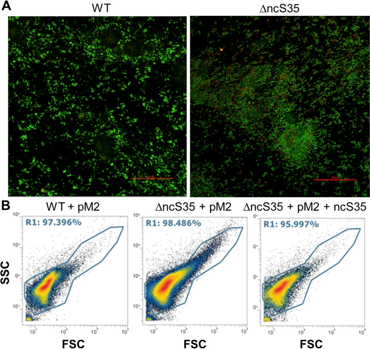 Cell aggregation in biofilms and planktonic culture. (A) Confocal laser scanning images. Shown are z-stack images of 24-h-old biofilms of the wild type (WT) and ΔncS35 after LIVE/DEAD staining. Scale bars, 50 µm. (B) Flow cytometry size/granularity plots of wild-type vector control (WT + pM2), ΔncS35 vector control (ΔncS35 + pM2), and complemented ΔncS35 (ΔncS35 + pM2 + ncS35) biofilm cells grown in LBB with 0.2% rhamnose and Tp at 600 µg/ml. The x axis represents forward scatter (FSC) and indicates cell size. The y axis represents side scatter (SSC) and shows cell granularity. Gate R10 represents all cells, and dots outside this gate are background fluorescence.