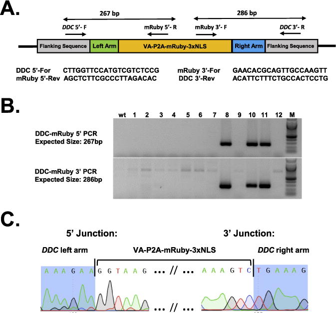 Sequence confirmation of DDC-mRuby knock-in allele. (A) Schematic showing the DDC-VA-P2A-mRuby-3X NLS knock-in allele and the location of genotyping PCR primers. Two PCR reactions, one each for 5′ and 3′ junction of the insert, were used for assessing the insertions. The PCR amplicon sizes are shown above the schematic and the primer sequences below the schematic. (B) Genotyping agarose gel images showing correct insertions at 5′ (top panel) and 3′ (bottom panel). Animals #8, #10 and #11 show expected amplicons for both the junction PCRs. Sequencing of the PCR products showed that animals #8 and #10 had indels or mutations whereas the animal #11 had precise insertions at both the junctions without any mutations. (C) Sequencing of the insertion junctions of the animal #11 showing precise insertion of the cassette at the desired site (immediately before the stop codon); compare with the sequences shown in Fig. 6C and D .