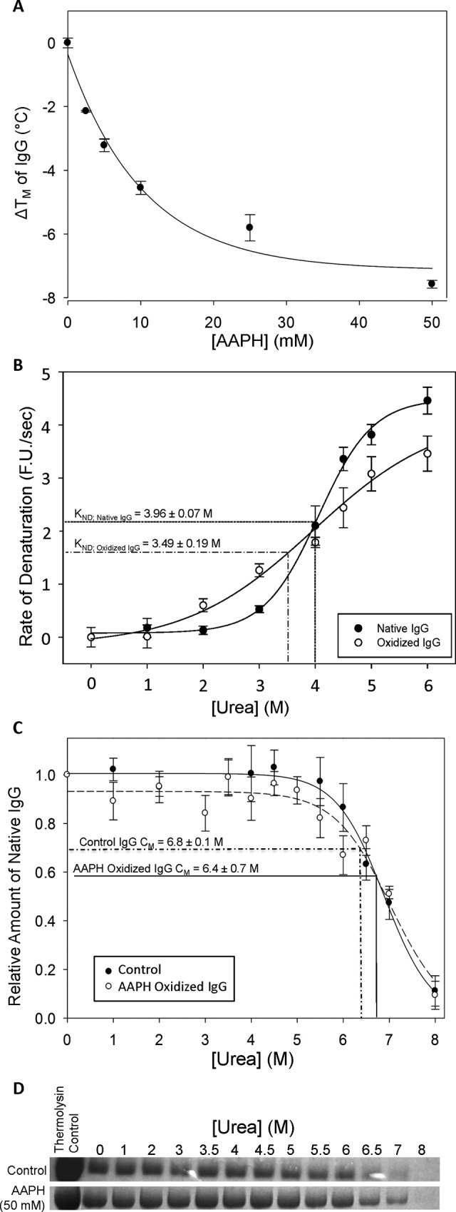 The influence of oxidation by 2,2-Azobis[2-amidinopropane]dihydrochloride (AAPH)-generated free radicals on immunoglobulin G (IgG) stability was investigated using differential scanning fluorimetry (DSF), real-time isothermal differential scanning fluorimetry (RT-iDSF), and pulse proteolysis. A, Thermal shift changes (ie, change in T m ) determined by DSF for human IgG (1 mg/mL) incubated with {0, 2.5, 5, 10, 25, or 50} mM AAPH for 1 hour at 4°C. B, The effect of oxidation on the velocity of denaturation of IgG by urea as determined by RT-iDSF. Immunoglobulin G samples were incubated with or without 50 mM AAPH for 2 hours at 4°C immediately prior to assaying. An asterisk (*) indicates significantly different from the control value ( P