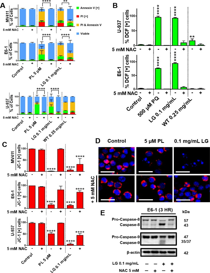 Lemongrass extract is dependent on the production of oxidative stress to induce apoptosis ( A ) MV-4-11, E6-1, and U-937 cells were treated with piperlongumine (PL), LG, or WT with or without the antioxidant NAC for 48 hours. Following treatment, cells were stained for Annexin V and PI. Results were obtained using image-based cytometry with the Y-axis representative of percent of cells positive for Annexin V (green), PI (red), Annexin V and PI (yellow), or negative for both Annexin V and PI (blue). Values are expressed as a mean ± SD from three independent experiments. ( B ) U-937 and E6-1 cells were treated with H2DCFDA following treatments with paraquat (PQ), LG, or WT with or without the antioxidant NAC for 3 hours. Results were obtained using the image-based cytometry with the Y-axis representative of percent of cells positive for DCF. Values are expressed as a mean ± SD from three independent experiments. ( C ) MV-4-11, E6-1, and U-937 cells were plated and allowed to incubate overnight. Following overnight incubation, cells were treated for 48 hours with or without NAC. To monitor mitochondria potential cells were incubated with JC-1 for 30 minutes before analysis. Results were obtained using image-based cytometry with the Y-axis representative of percent of cells positive for JC-1 expressed as a mean ± SD from three independent experiments. ( D ) U-937 micrographs at 48 hours. Top: Fluorescent images of cells without NAC stained with JC-1 (red) and Hoechst (blue) at 400x magnification. Bottom: Fluorescent images of cells with NAC stained with JC-1 (red) and Hoechst (blue) at 400x magnification. Scale bar is 25 microns. Images are representative of three independent experiments. ( E ) E6-1 cells were treated for 3 hours with LG with or without NAC, lysed, and subjected to SDS-PAGE. Cells were then transferred to a PVDF membrane and probed for the specific proteins. Bands were visualized with a chemiluminescence reagent. Statistical calculations were performed 