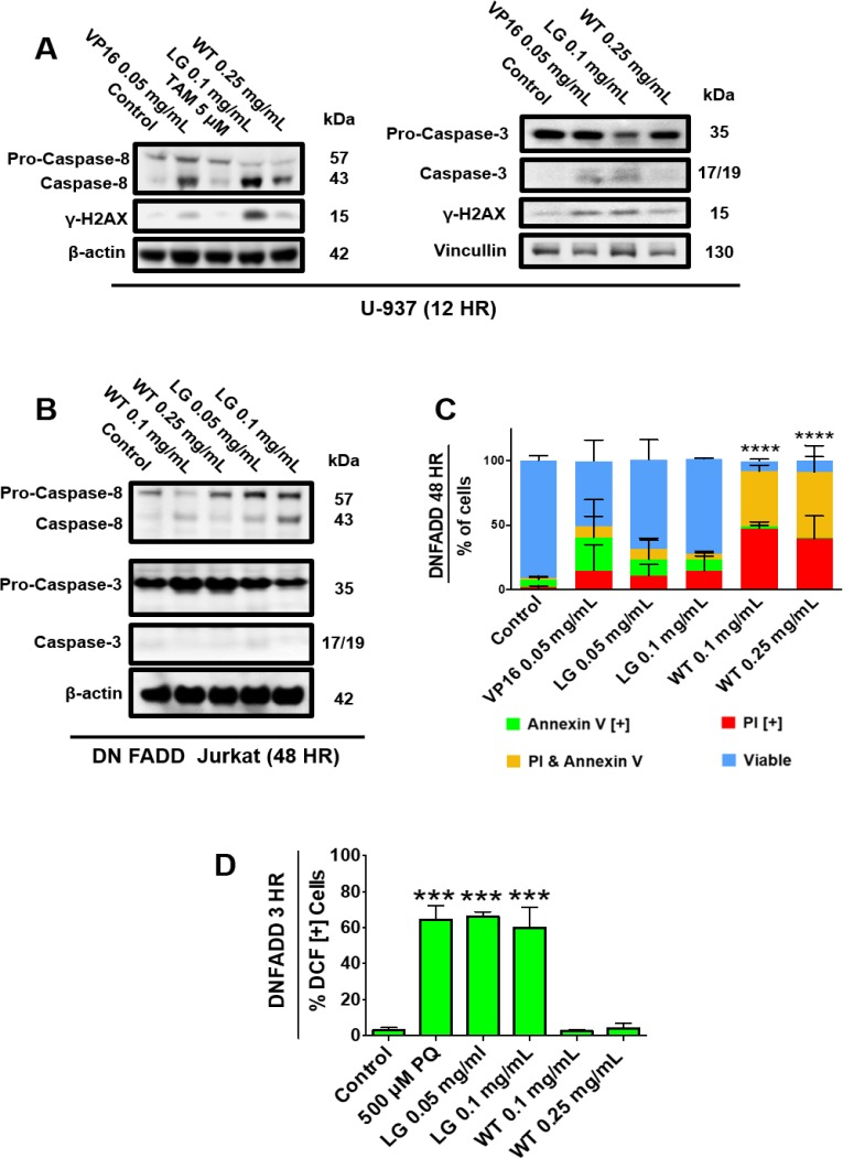 Functioning FADD protein is required to induce apoptosis in cancer cells treated with lemongrass extract ( A ) U-937 and ( B ) DN FADD Jurkat cells were treated for 12 hours and 48 hours, respectively, with the specified treatments, lysed, and subjected to SDS-PAGE. Cells were then transferred to a PVDF membrane and probed for the specific proteins. Bands were visualized with a chemiluminescence reagent. ( C ) DN FADD Jurkat cells were treated for 48 hours with the specified doses and stained with Annexin V and PI. Results were obtained using image-based cytometry with the Y-axis representative of percent of cells positive for Annexin V (green), PI (red), Annexin V and PI (yellow), or negative for both Annexin V and PI (blue). Values are expressed as a mean ± SD from three independent experiments. ( D ) DN FADD Jurkat cells were treated with H2DCFDA following treatments with paraquat (PQ), LG, or WT for 3 hours. Results were obtained using the image-based cytometry with the Y-axis representative of percent of cells positive for DCF. Values are expressed as a mean ± SD from three independent experiments. Statistical calculations were performed using Two-Way ANOVA multiple comparison for (C) and One-Way ANOVA multiple comparison for (D). *** p