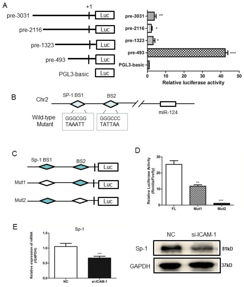Analysis of the miR-124 promoter and transcription factor Sp1 binds to miR-124 promoter (A) RAW264.7 cells were co-transfected with pRL-TK and a miR-124 promoter reporter plasmid containing various lengths of the miR-124 promoter. The first nucleotide of mature pre-miR-124 is assigned +1. Right panel shows the relative luciferase activities of these plasmids. Luciferase activity of the mock transfected empty vector pGL3-Basic was used for normalization. The data in graph were shown in mean ± SEM of 3 different transfections. (B) Schematic diagram of miR-124 genomic location in mouse chromosome 2. The promoter region from pre-197 to pre-27 was used for analysis of potential transcription factor binding sites. Two Sp1 binding sites are indicated as diamonds. The sequences of mutated sites are shown under the locus diagram. (C) Schematic representation of deletion mutants 1 and 2 in the full-length miR-124 promoter. (D) RAW264.7 cells were co-transfected with the above promoter reporter constructs and pRL-TK. Post-transfection for 36h, samples were collected and analyzed for dual luciferase activity. (E) Real-time qPCR and Western blot analysis of the expression of Sp1 after transfection with <t>ICAM-1</t> siRNA and negative control. ( * p
