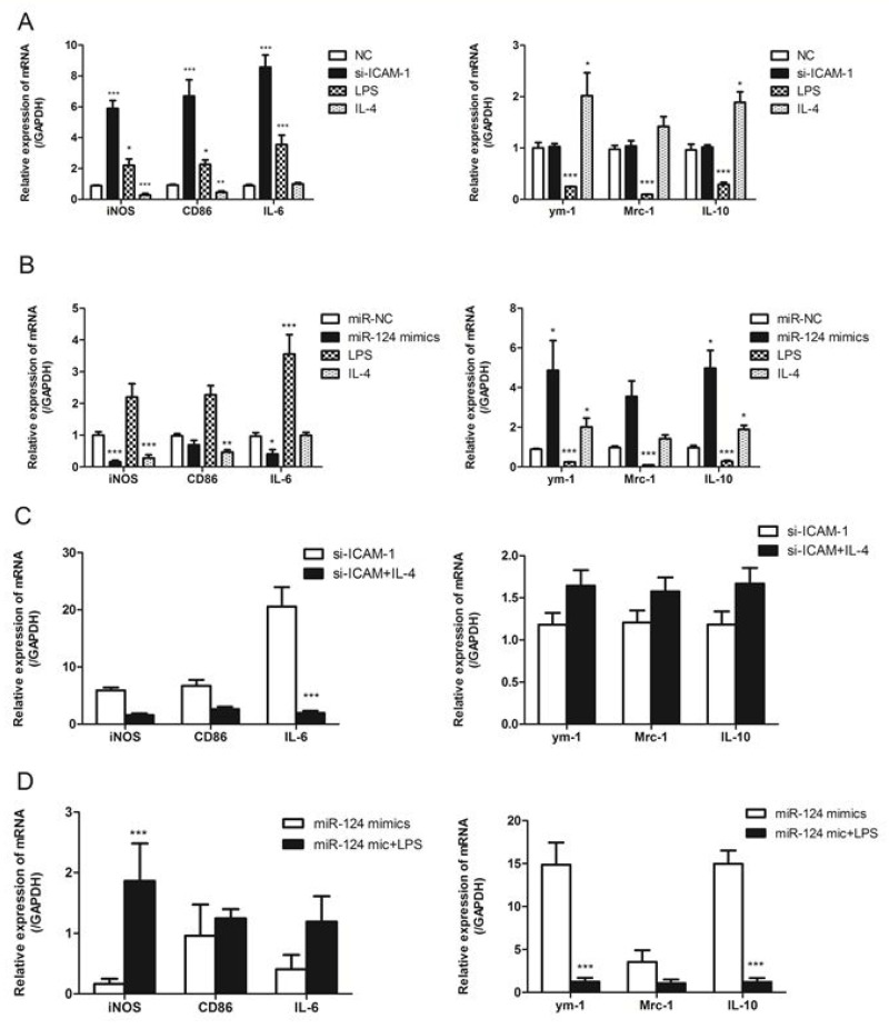 ICAM-1 and miR-124 induce different macrophage polarizations (A) Real-time qPCR analysis of the mRNA expression of M1 marker (iNOS, CD86, IL-6) and M2 (ym-1, Mrc-1, IL-10) markers in ICAM-1 siRNA or negative control transfected with RAW264.7 cells. RAW264.7 cells treated with for 24h. (B) RAW264.7 cells were transfected with miR-124 mimics or negative control, LPS (2ug/ml) or IL-4 (20ng/ml), mRNA expressions of M1 and M2 markers were analyzed with real-time qPCR. (C) The mRNA expressions of M1 and M2 markers in RAW264.7 cells transfected with siRNA-ICAM-1 for 24h in the presence or absence of IL-4. (D) The mRNA expressions of M1 and M2 markers in RAW264.7 cells transfected with miR-124 mimics for 24h in the presence or absence of LPS. ( * p